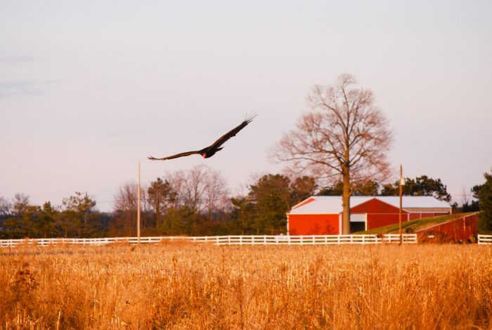 2. A turkey vulture flies over this rust-colored field in Prince George's County.
