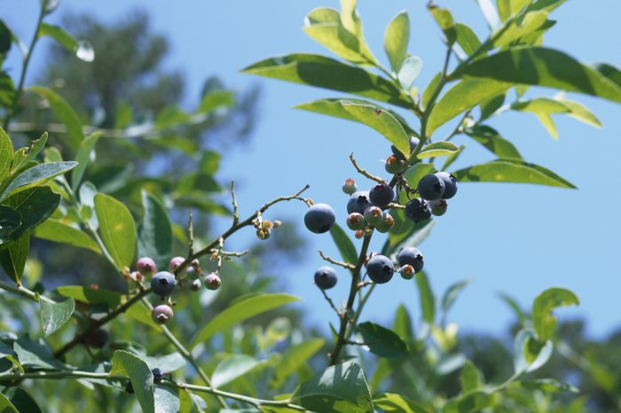 7. Pick fresh blueberries in Alma, Georgia.