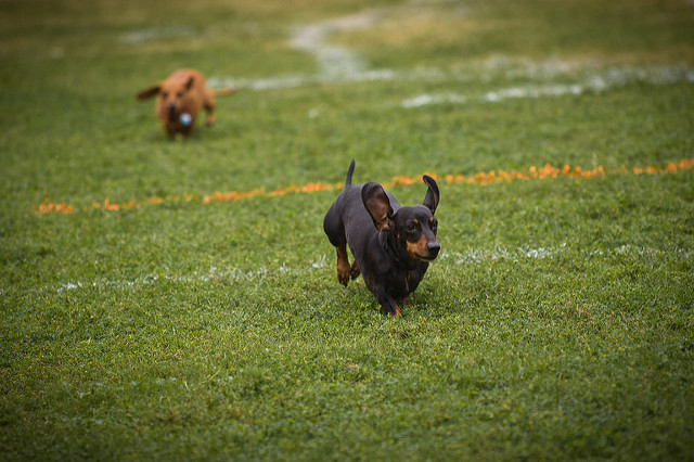 5. Cheer on wiener dogs as they race.