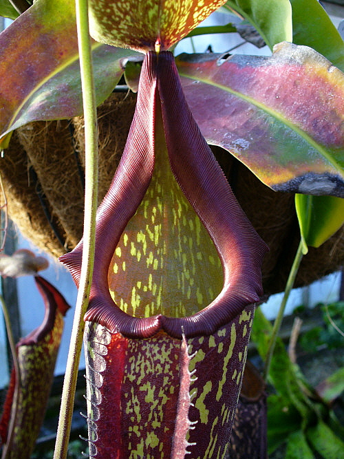 15. Or this pitcher plant, also at the Wellesley College greenhouses.