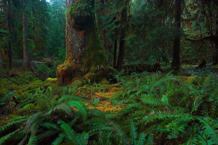 8. Washington: The Quinault Rainforest