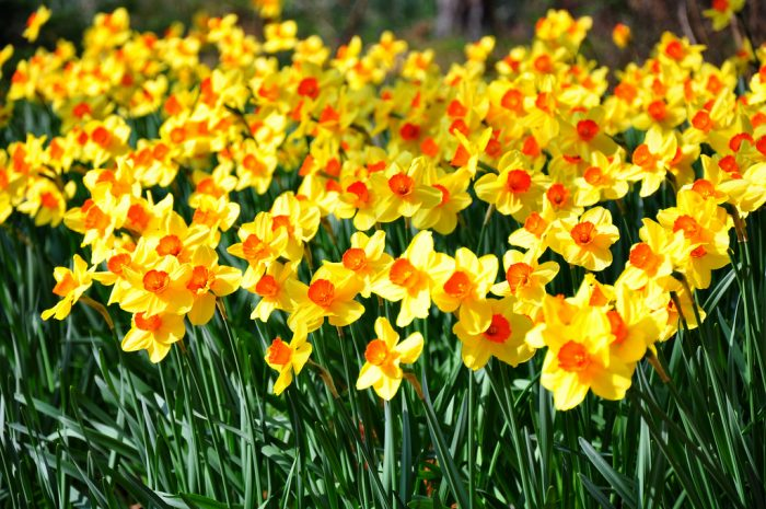 Daffodil Hill comes to life in the early spring. 235 varieties of Narcissus grow there.