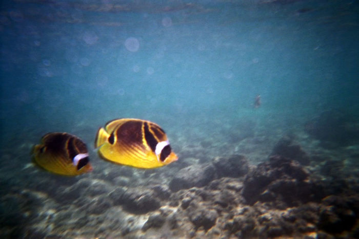 6. Our state fish is a reef triggerfish, the Humuhumunukunukuapua'a.