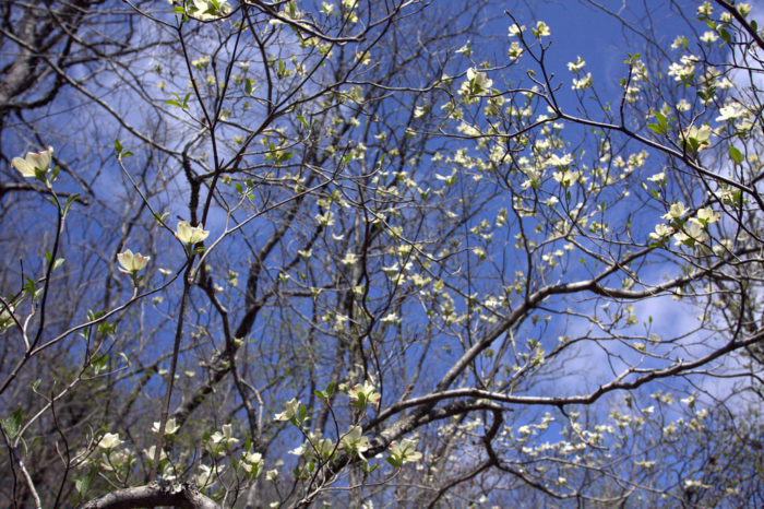 The area surrounding the river is gorgeous. Check out this dogwood in bloom: