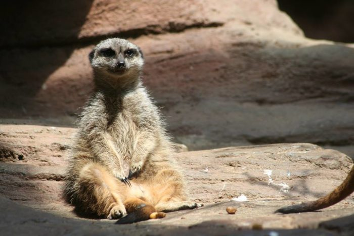 ...a stern meerkat may judge you, especially if you don't stop and say hello.