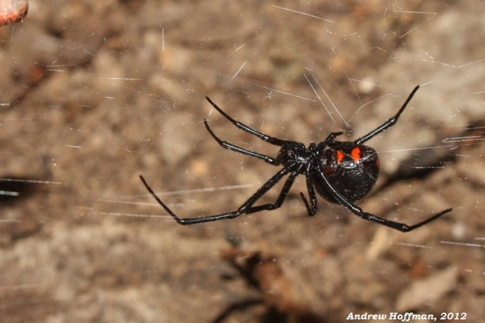 1. Yes, there are black widow spiders in Delaware.