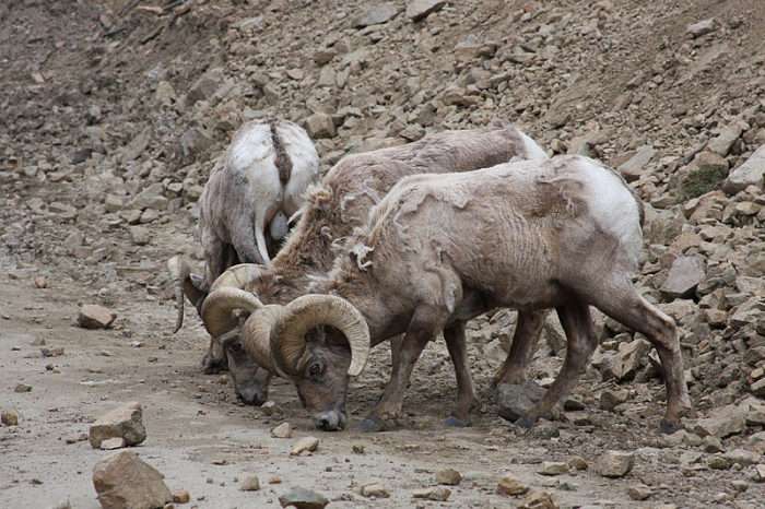 800px-Big_horn_sheep_lick