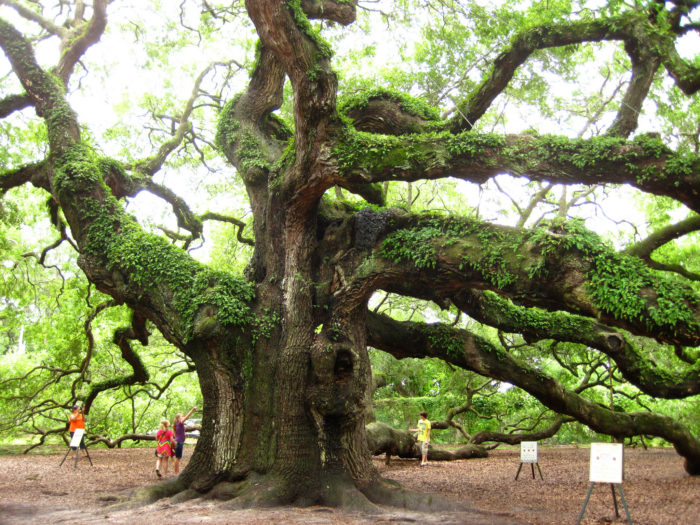 7. Go see the oldest oak tree east of the Mississippi.