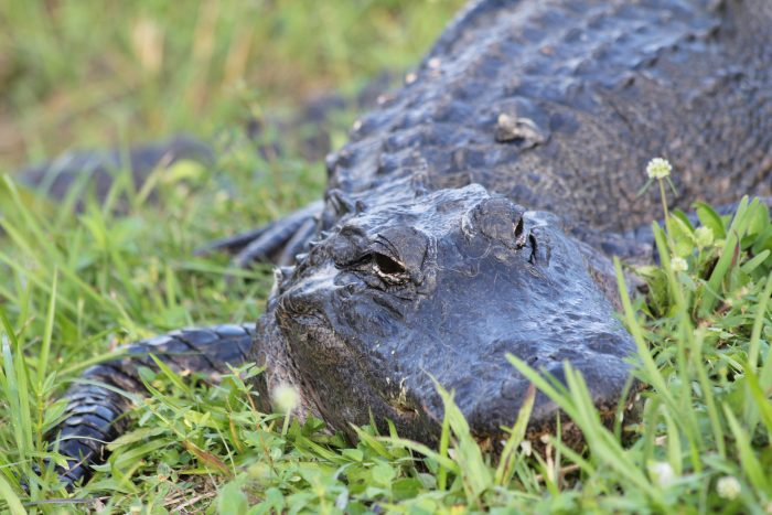 11. Our state legislature decided to create a law to protect alligators from being kidnapped (or gaternapped).