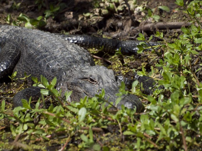 And of course, look out for alligators that line the trail!