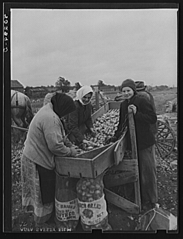 7. Salvaging onions after a hurricane in Hadley.
