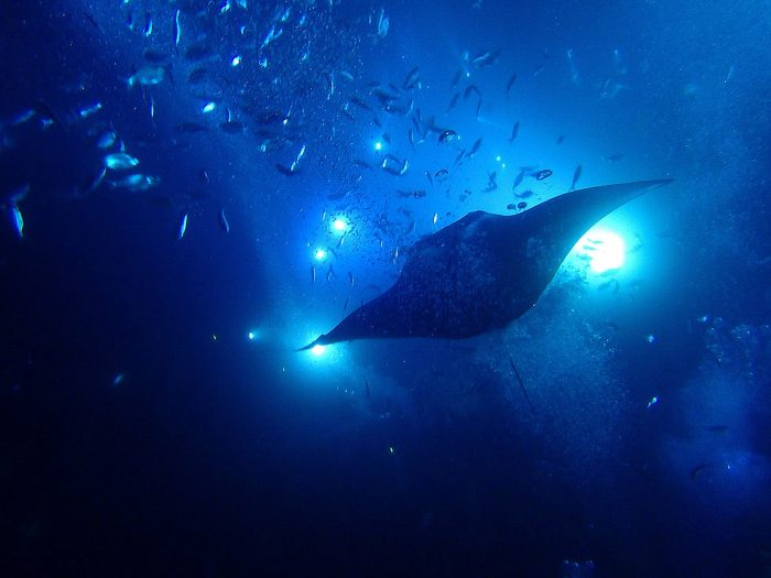 9. Go snorkeling with manta rays after sunset.