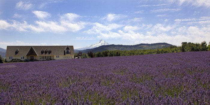 9. Oregon: Hood River Lavender Farm offers fields of fragrant blooms and a killer view of Mount Hood.