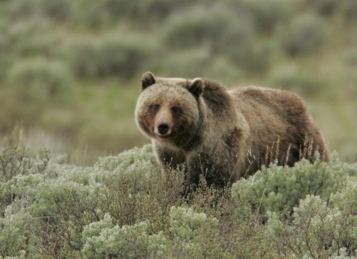 5. Yellowstone - Wildlife