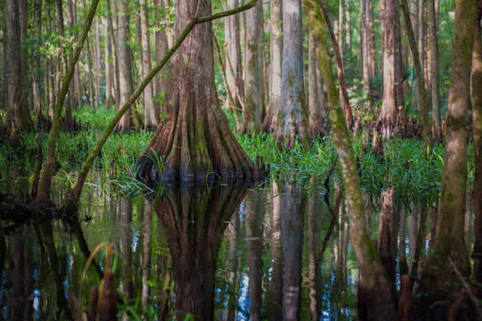 ...to the unique ecology of swamps and marshes.