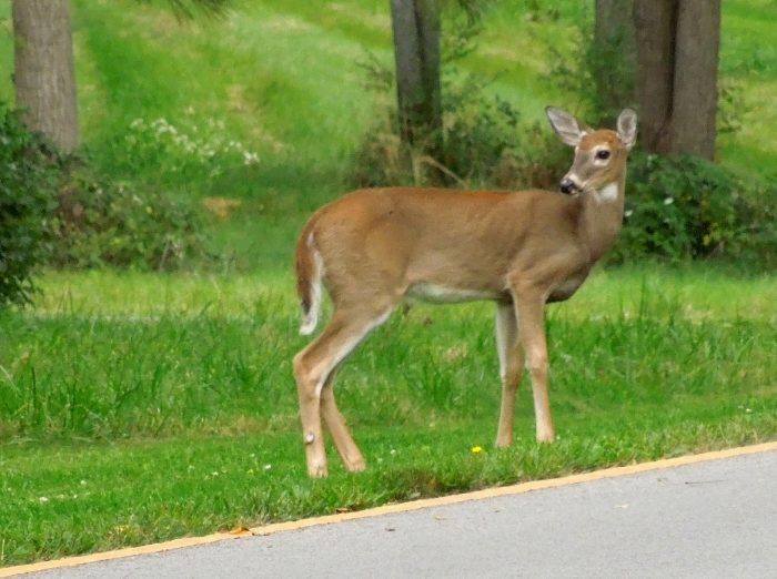 3. ALWAYS scan the road ahead with your eyes for deer. (Highways are no exception.)