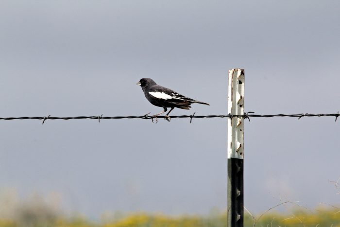 Colorado State Bird