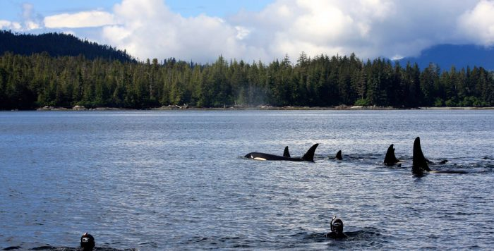 11. Snorkel with orcas in Ketchikan.
