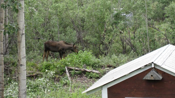 10. Garden planting is a great idea, until the moose show up.