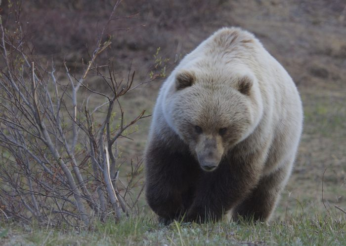 6. Grizzly Bears at Sable Pass