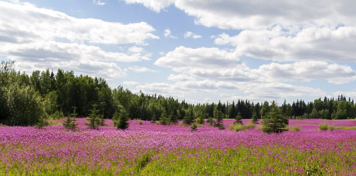 9. Fireweed, eeeeeek! Oh my! So pretty! And… I almost went off the road.