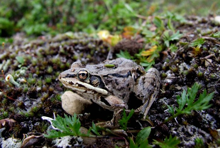 10. Wood Frog
