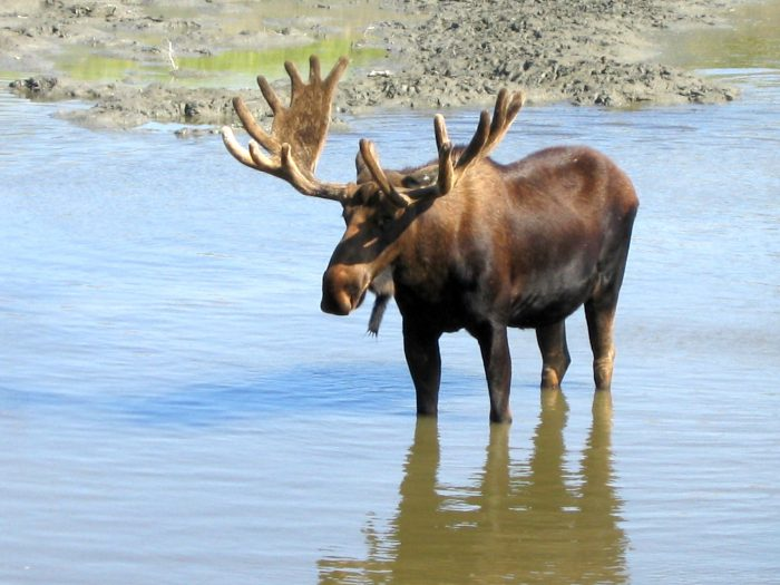 11. At what age do the caribou turn into moose?