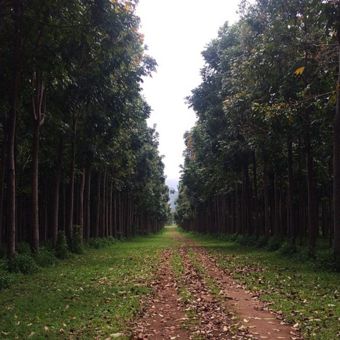 With approximately 86,000 Honduras Mahogany trees planted in neat columns, an illusion of a tunnel between each row of majestic trees is created, and is quite a beautiful sight to behold.