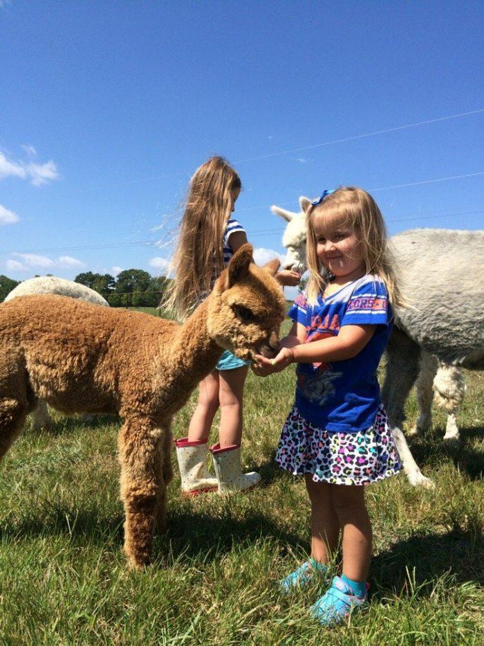 8. Alpaca Farm Tour – Adairsville