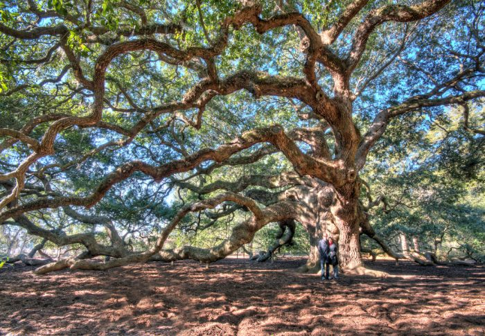 2. The Angel Oak tree, 1500 years old, is possibly the oldest tree east of the Mississippi.
