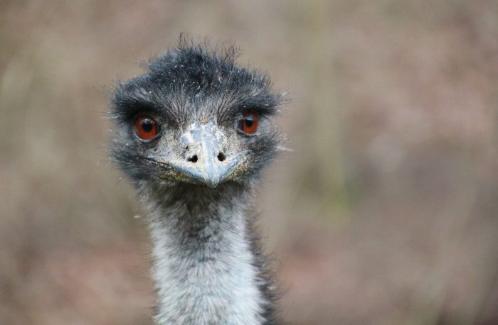 3. Schools on Lockdown... because of an Emu!