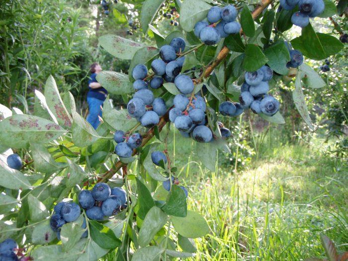 5. Berry Sweet Orchards, Ethel, LA