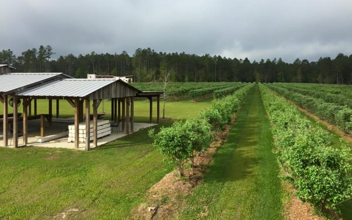 3. Louisiana: Blue Harvest Farms in Covington is a the perfect spot to pick your own ripe blueberries on a warm summer day.