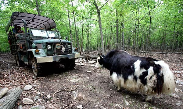 This gives guests an unusual and up close view of yaks...