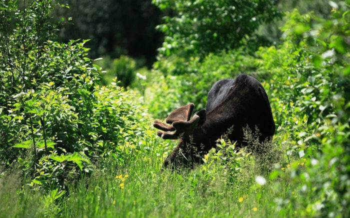 4. And it's true, you just might spot a moose, like this big bull, at any given moment when you're hiking...