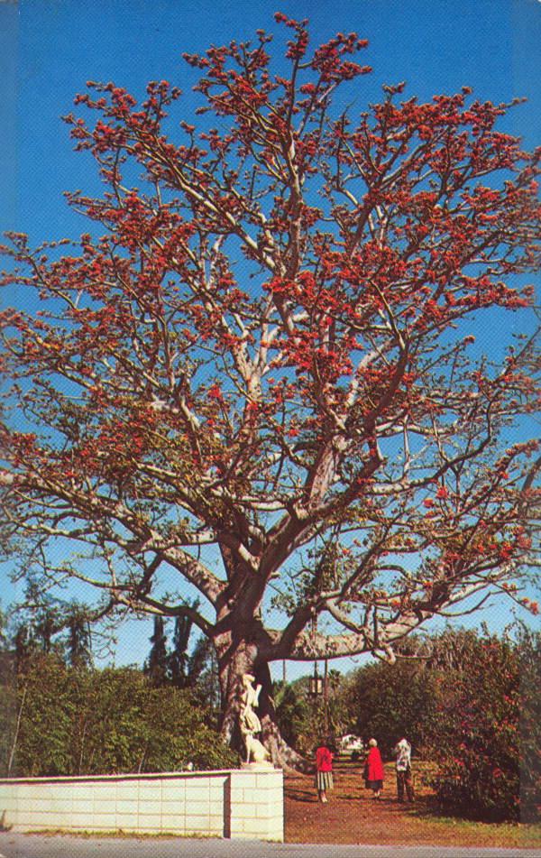 Tree at Kapok Tree Inn