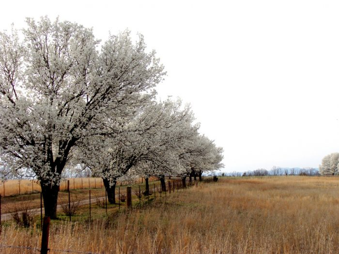 14. Blooming pear trees line a country road in Pickens County.