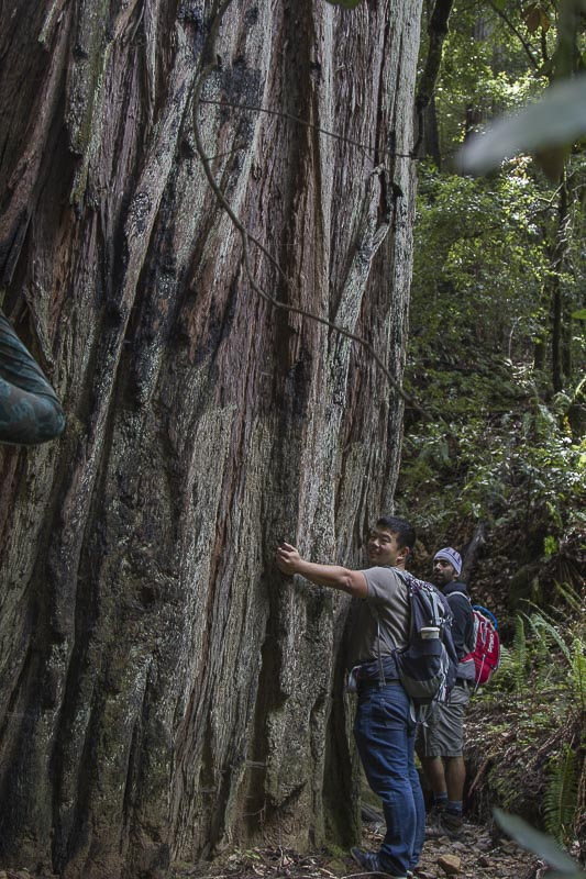 12. The Redwoods