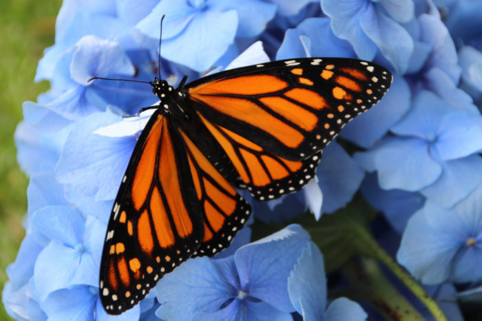5. Monarch Butterfly Migration