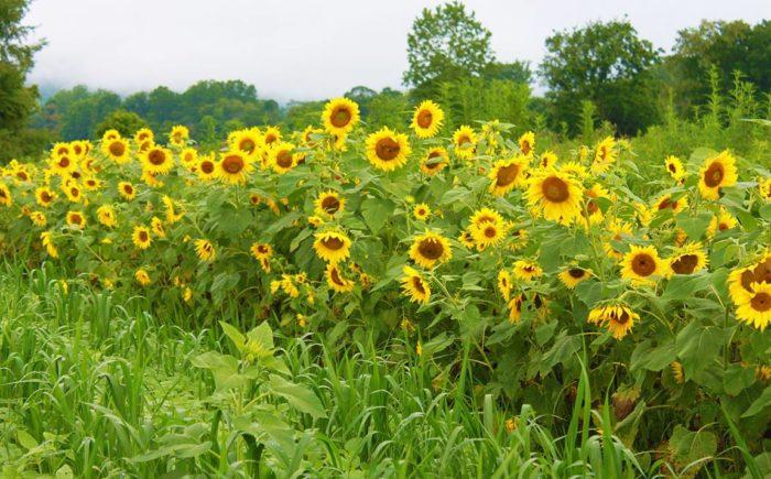 Sunflowers grow abundantly, making it a favorite spot for wedding photos.