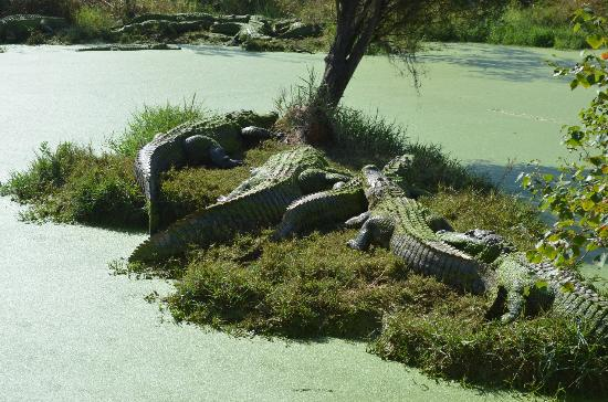 1. Get up-close views of gators on a swamp boat tour.