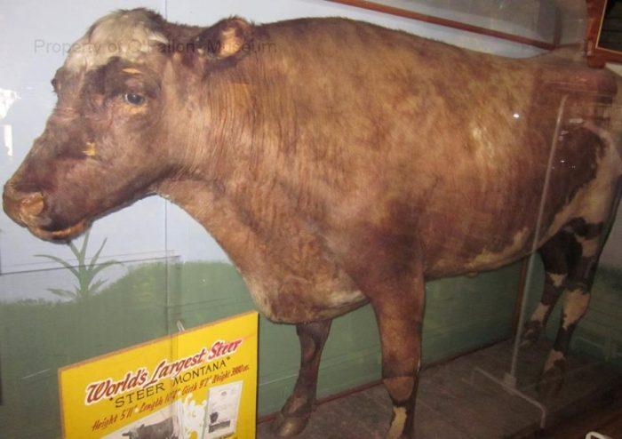 2. Steer Montana in Baker