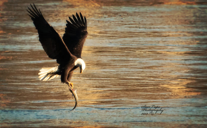 5. See bald eagles in action at the Conowingo Dam.