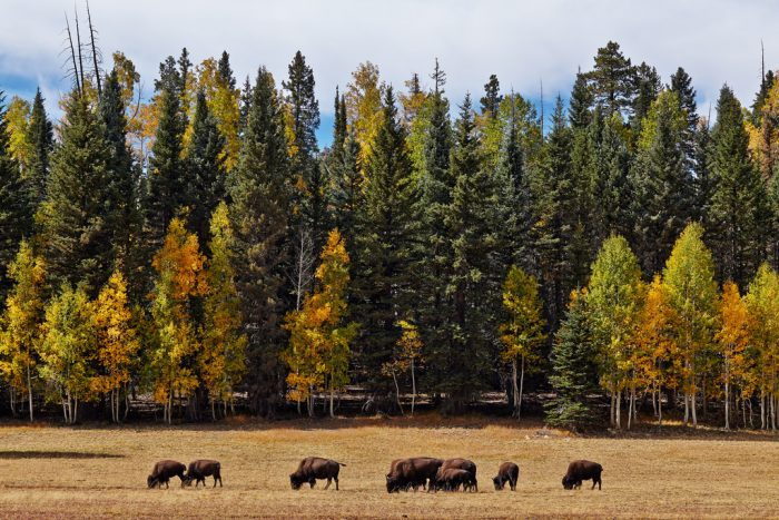 6. ...forested areas, especially on the North Rim...