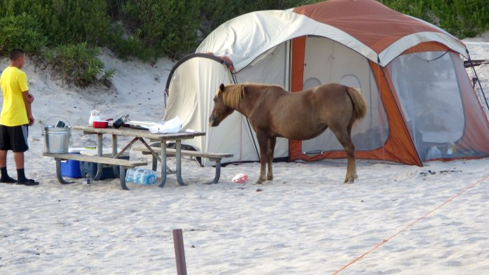 The island's curious wild ponies have been known to invade campsites, not that we're complaining.