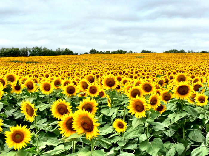 8. ...or why Kansas is nicknamed the Sunflower State.