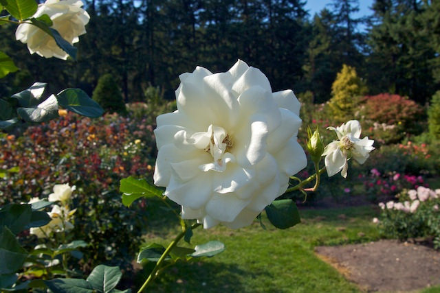 2. Smell the roses at Portland's famous International Rose Test Garden.