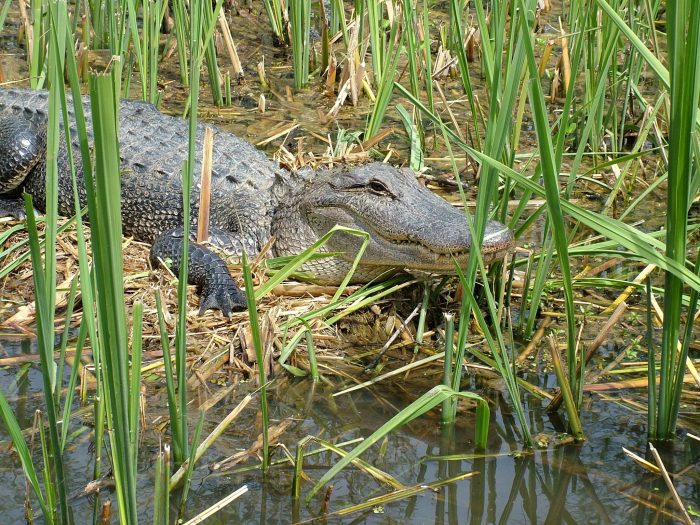 And you will certainly see some Alligators during your ride.