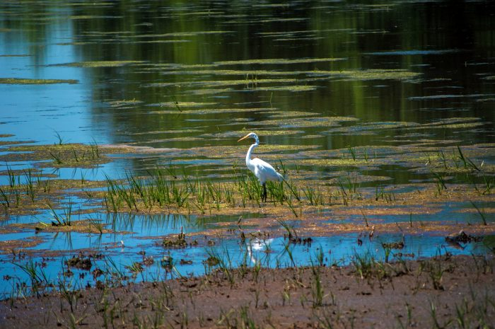 Beautiful herons are spotted all summer.