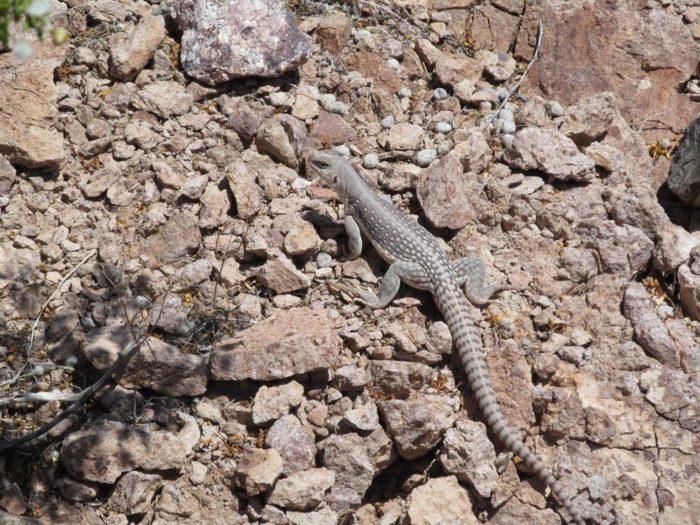 Lizards,